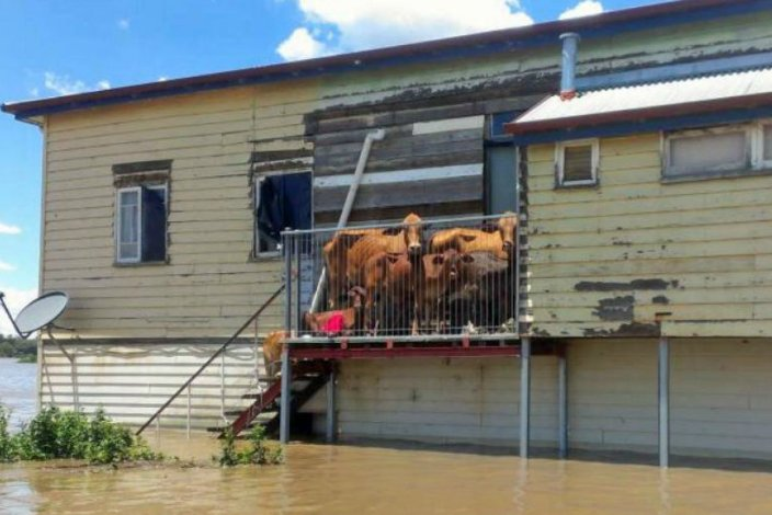 Cows in Queensland floods